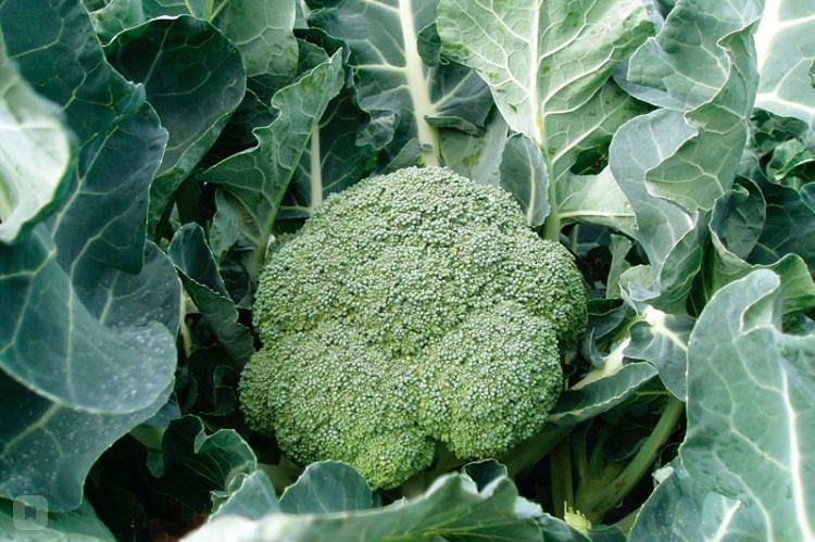 Бомонт F1, семена капусты брокколи (Bejo / Бейо) - фото 5566