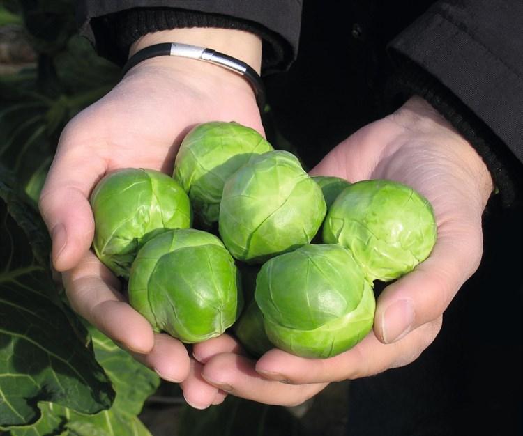 Франклин F1, семена капусты брюссельской (Bejo / Бейо) - фото 5571