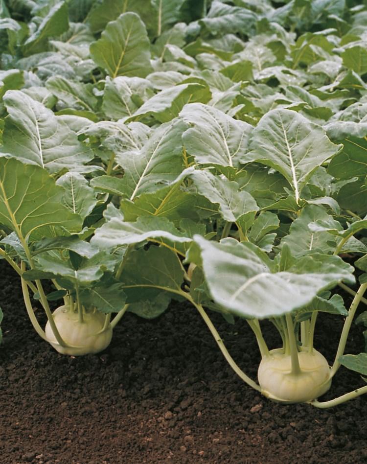 Корист F1, семена капусты кольраби (Bejo / Бейо) - фото 5572