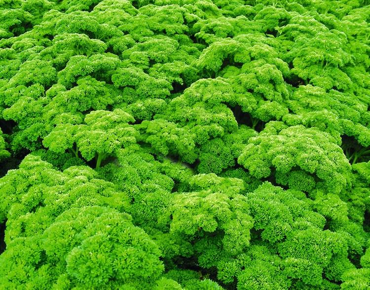 Петра, семена петрушки (Bejo / Бейо) - фото 5585
