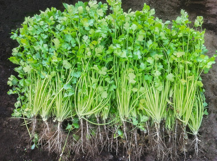 Коммандер, семена кориандра (Bejo / Бейо) - фото 5595