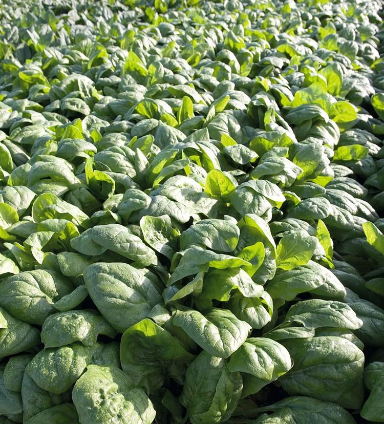 Рембор F1, семена шпината (Bejo / Бейо) - фото 5599