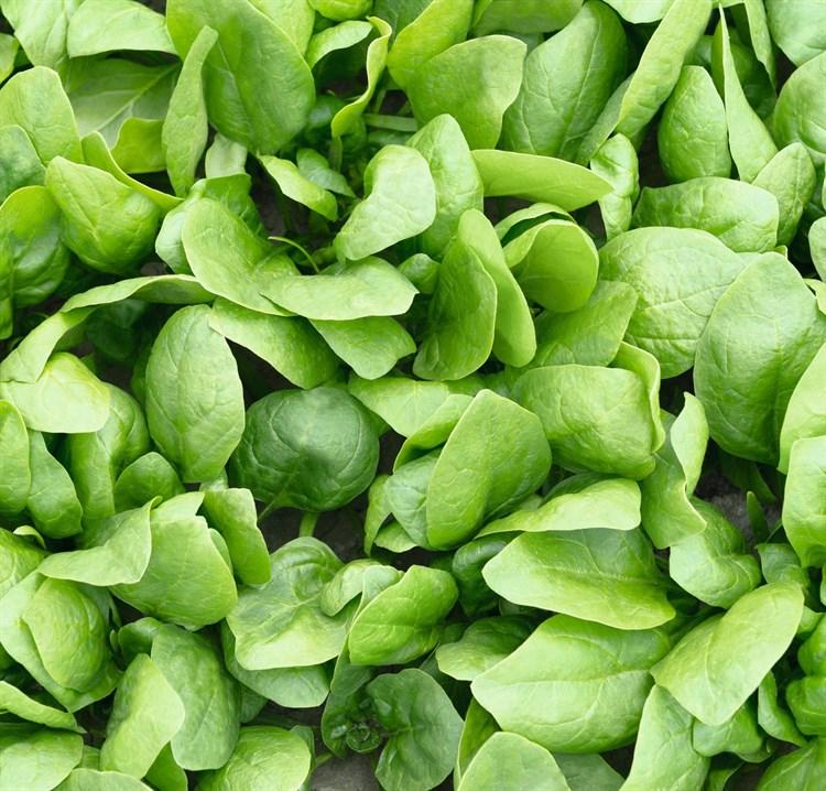 Рембрандт F1, семена шпината (Bejo / Бейо) - фото 5600