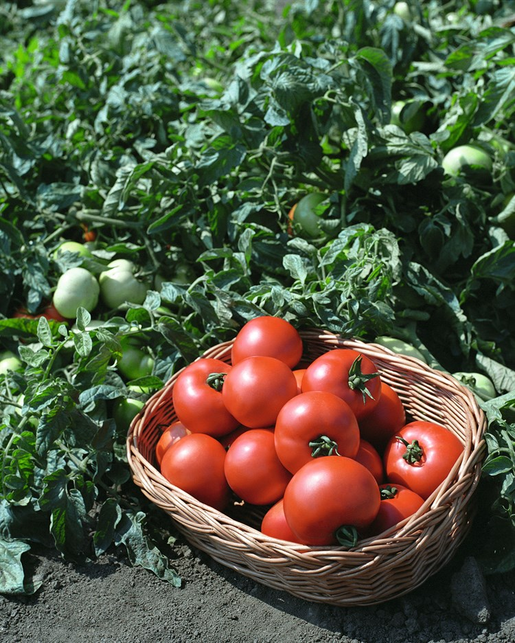 Полбиг F1, семена томата детерминантный (Bejo / Бейо) - фото 5606