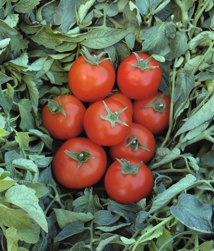 Топспорт F1, семена томата детерминантный (Bejo / Бейо) - фото 5612