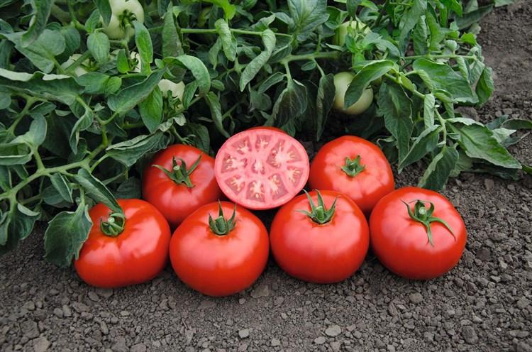 Томск F1, семена томата детерминантный (Bejo / Бейо) - фото 5618