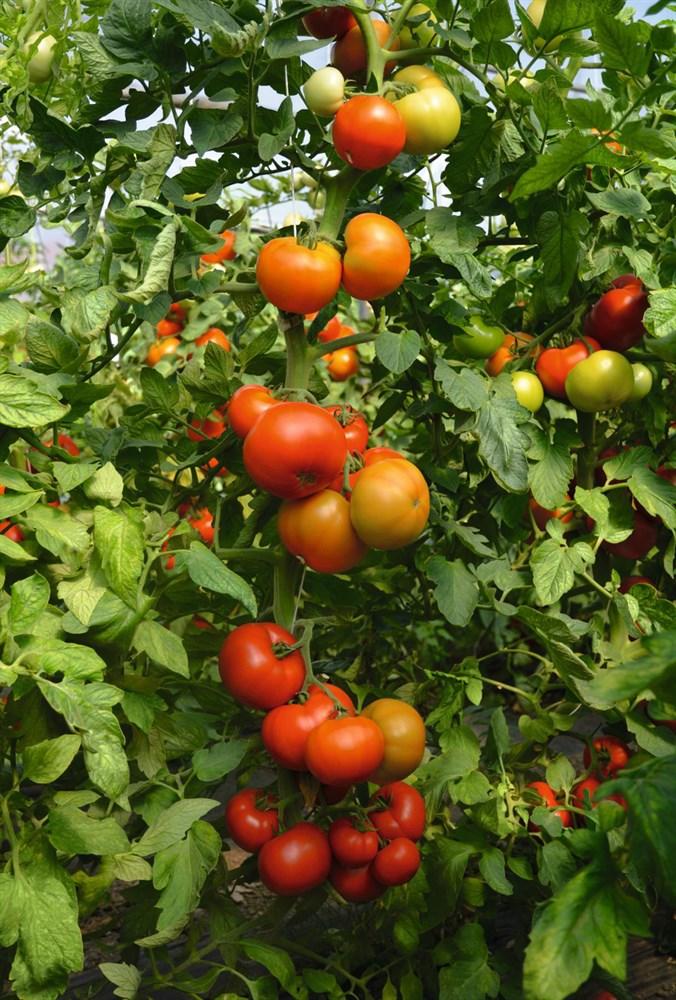 Тобольск F1, семена томата индетерминантный (Bejo / Бейо) - фото 5626