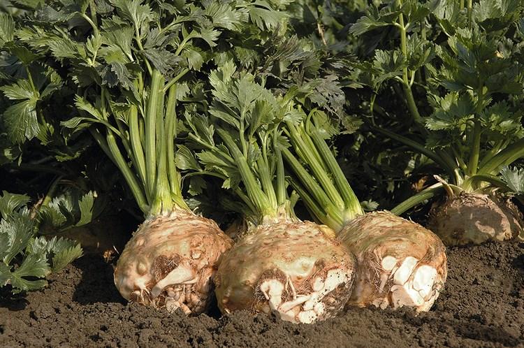 Балена F1, семена сельдерея корневого (Bejo / Бейо) - фото 5646