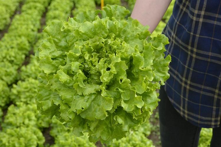 Миртел, семена салата батавия (Bejo / Бейо) - фото 5659