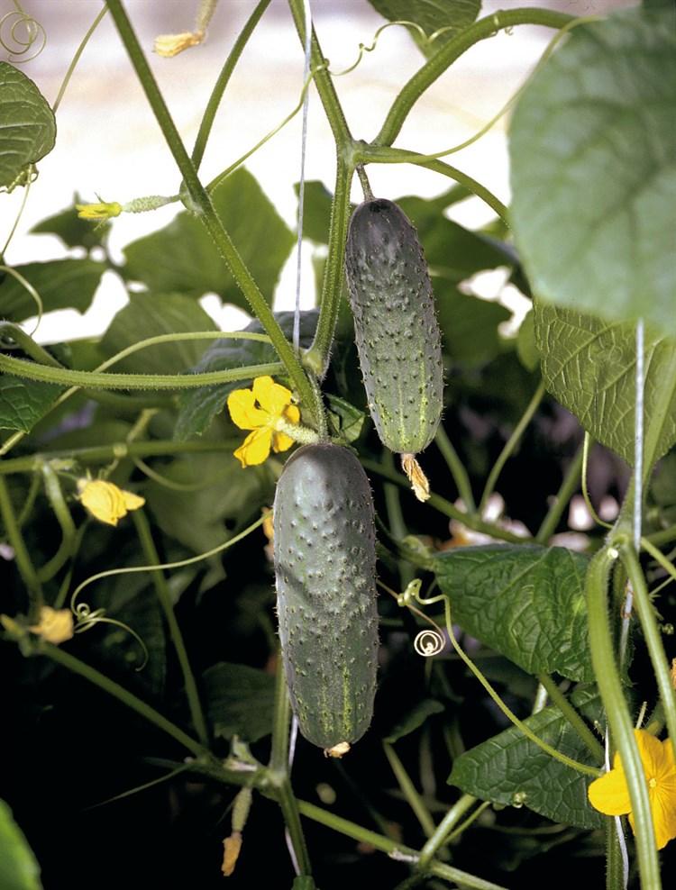 Атлантис F1, семена огурца пчелоопыляемого (Bejo / Бейо) - фото 5670