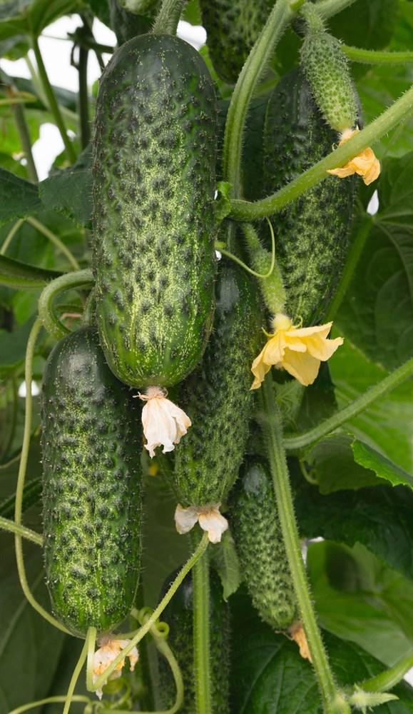 Амарок F1, семена огурца партенокарпического (Bejo / Бейо) - фото 5685