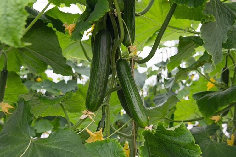 Йилдо F1, семена огурца партенокарпического (Bejo / Бейо) - фото 5693
