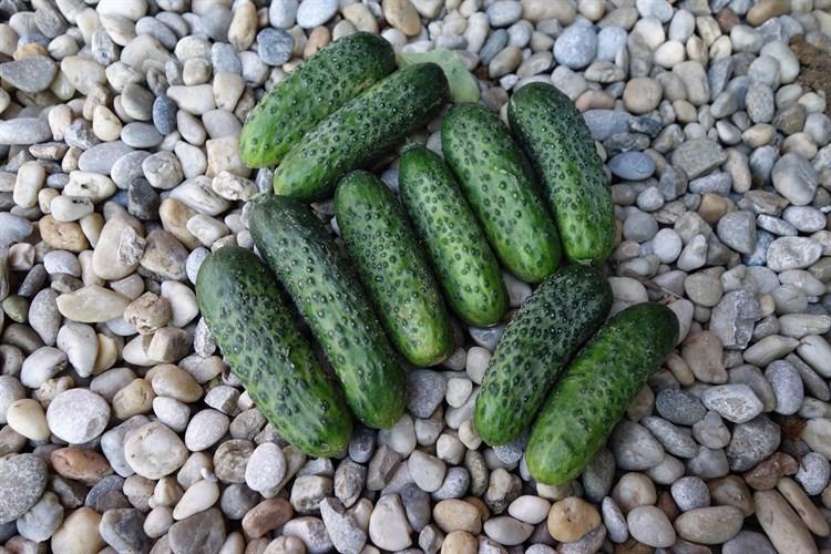 Ардия F1, семена огурца партенокарпического (Bejo / Бейо) - фото 5695