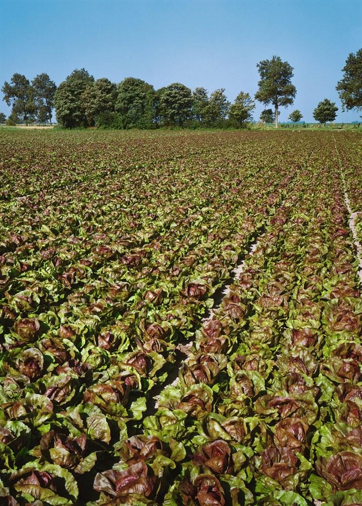 Индиго F1, семена цикория (Bejo / Бейо) - фото 5697