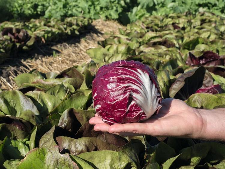Васари F1, семена цикория (Bejo / Бейо) - фото 5701