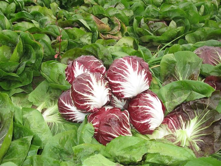 Раффаэлло F1, семена цикория (Bejo / Бейо) - фото 5705