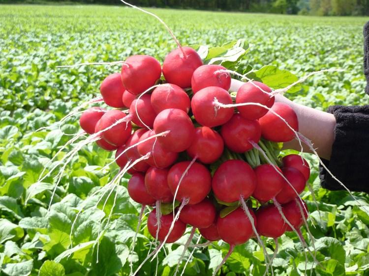Розетта F1, семена редиса (Bejo / Бейо) - фото 5727