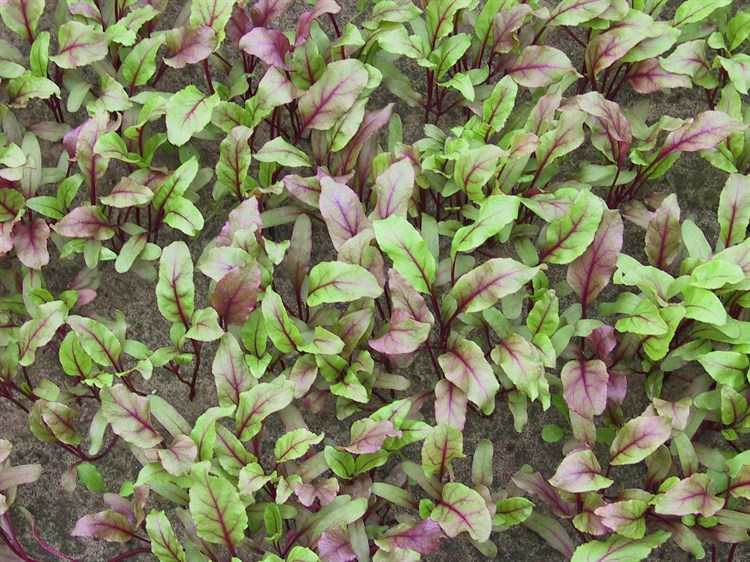 Солджер, семена мангольда (Bejo / Бейо) - фото 5731