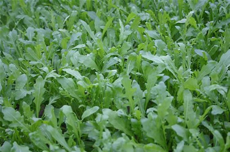 Рокет, семена рукколы дикой  (Wing Seeds / Винг Сидс) - фото 5763