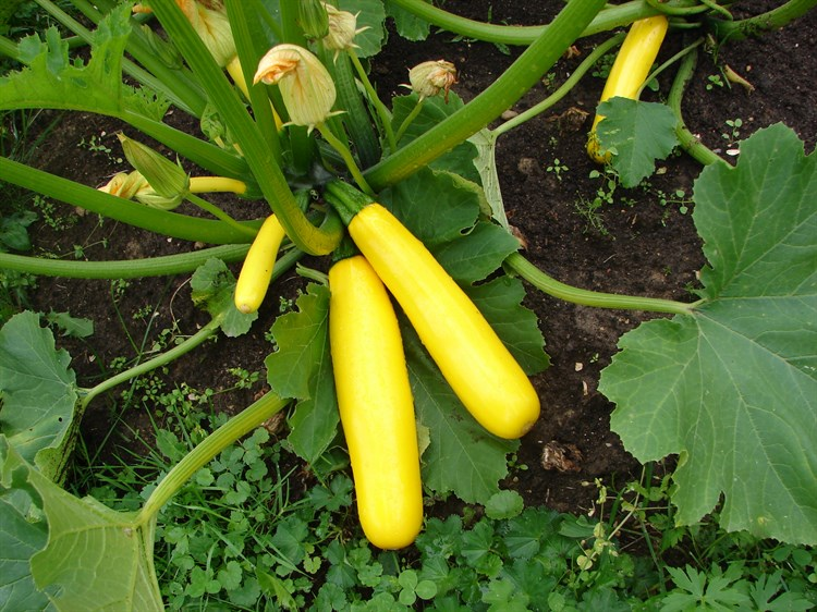ГолдКрэш F1, семена кабака (Wing Seeds / Винг Сидс) - фото 5784