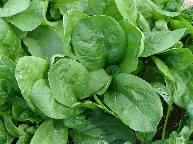 Изумруд F1, семена шпитана (Wing Seeds / Винг Сидс) - фото 5803
