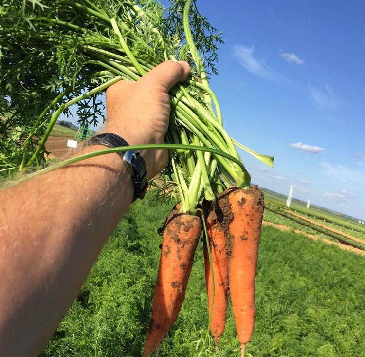 Ред Кор, семена моркови (Wing Seed/Винг Сидс) - фото 5812