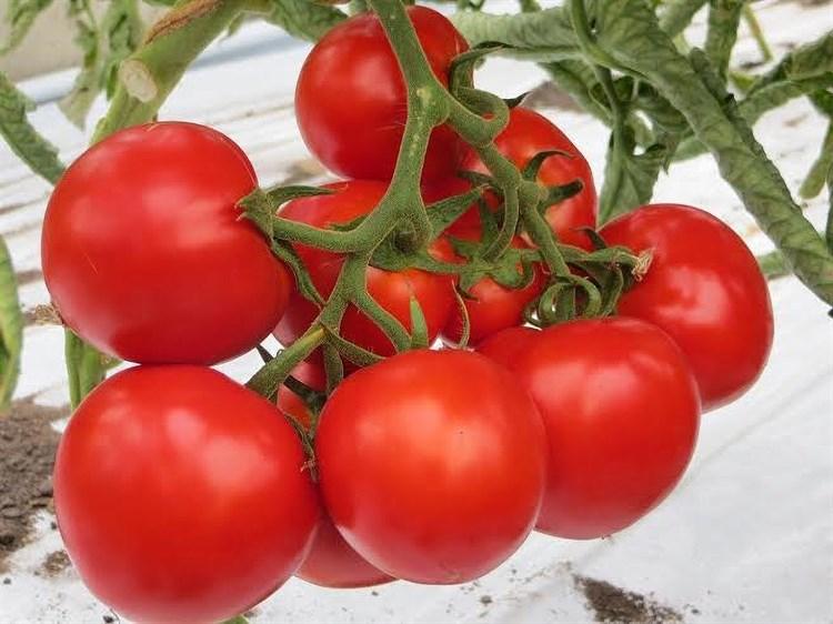 Джина ТСТ, семена томата детерминантного (Wing Seeds / Винг Сидс) - фото 5825