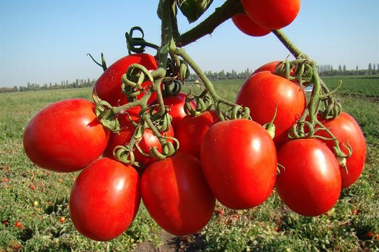 Рио Гранде Оригинал, семена томата детерминантного (Wing Seeds / Винг Сидс) - фото 5826