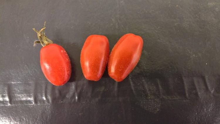 ST-93, семена томата индетерминантного (Wing Seeds / Винг Сидс) - фото 5829