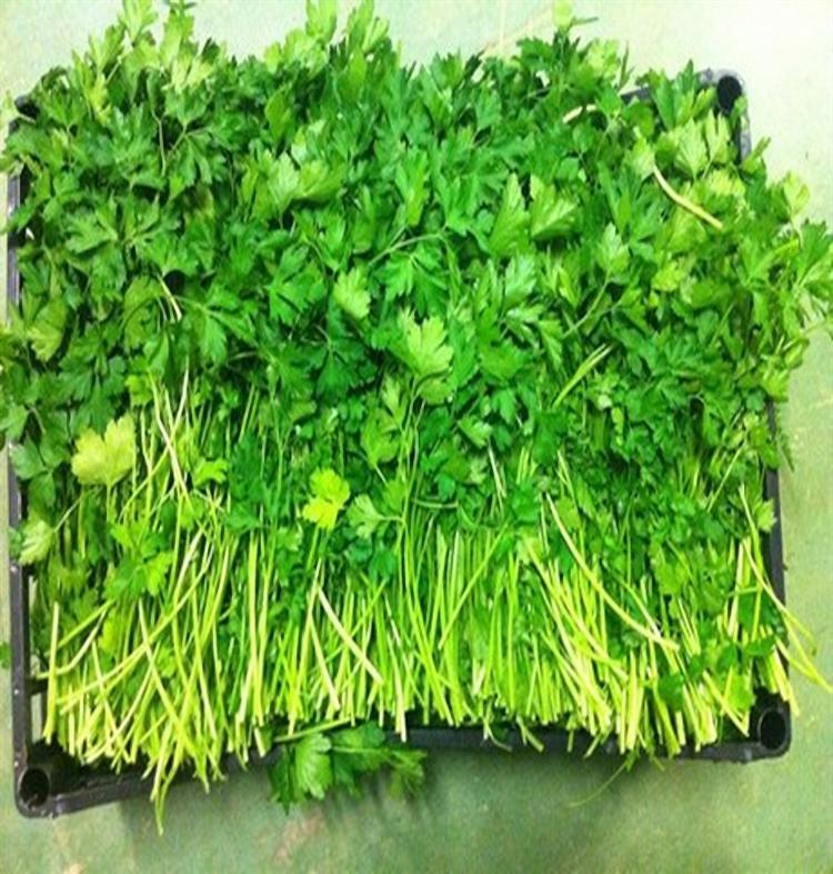 Амстердамский, семена сельдерея листового (Wing Seeds / Винг Сидс) - фото 5833