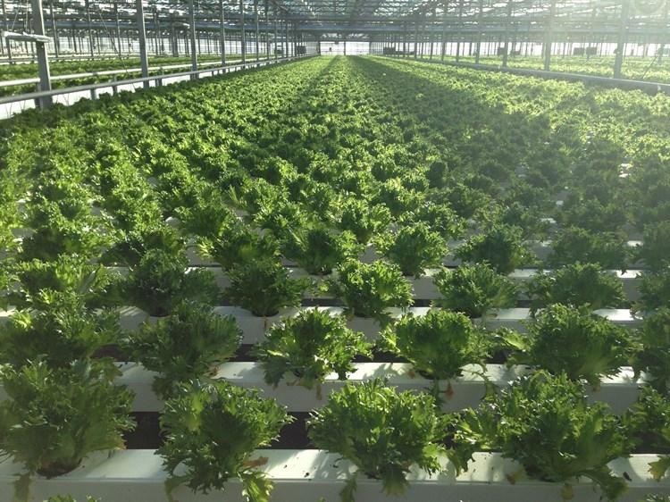 Фрилл Грин 2, семена салата (Wing Seeds / Винг Сидс) - фото 5839
