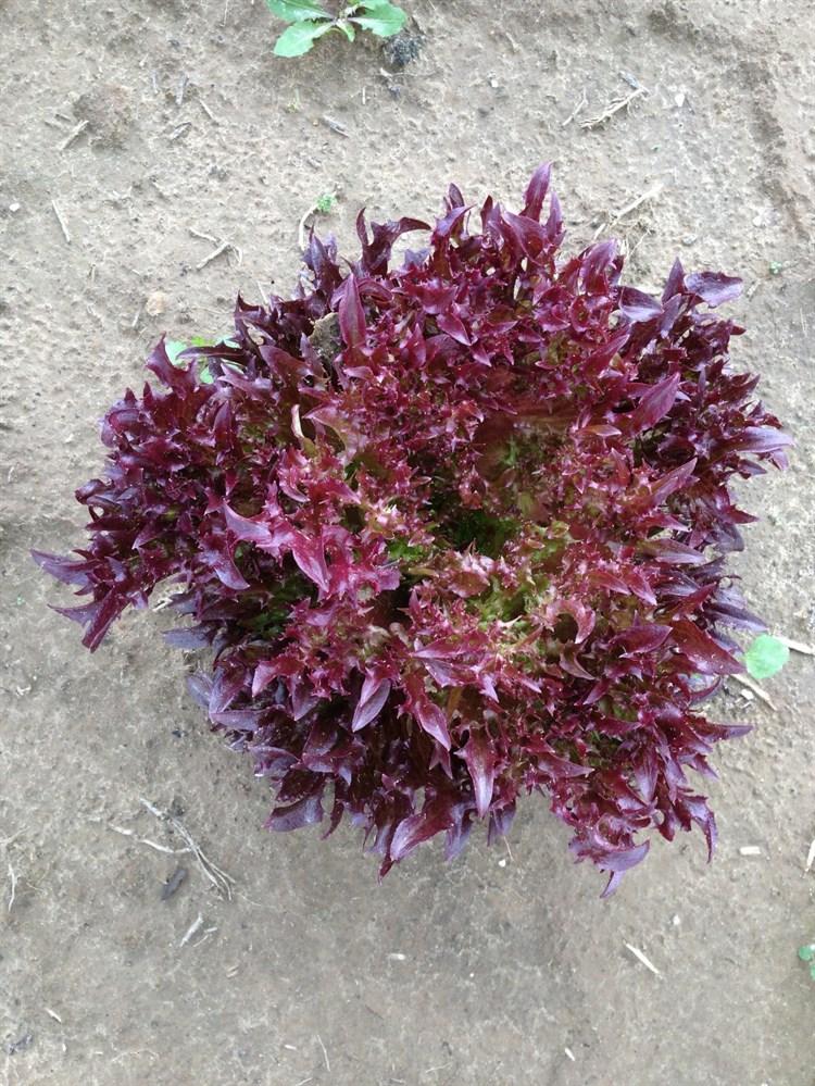 Фрилл Рэд, семена салата (Wing Seeds / Винг Сидс) - фото 5840