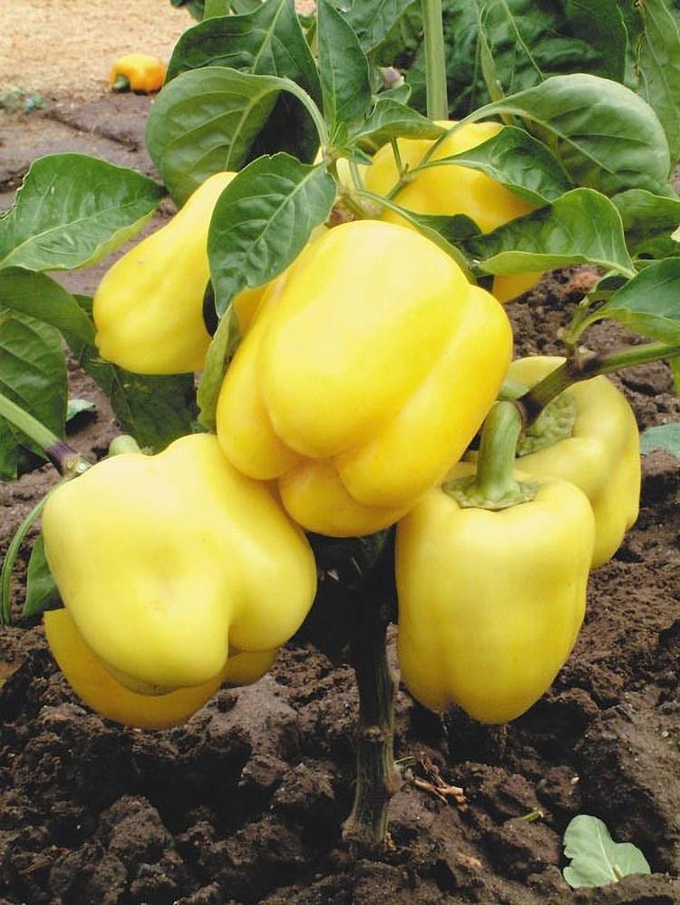 Желтый Колокол F1, семена перца сладкого (Wing Seeds / Винг Сидс) - фото 5850