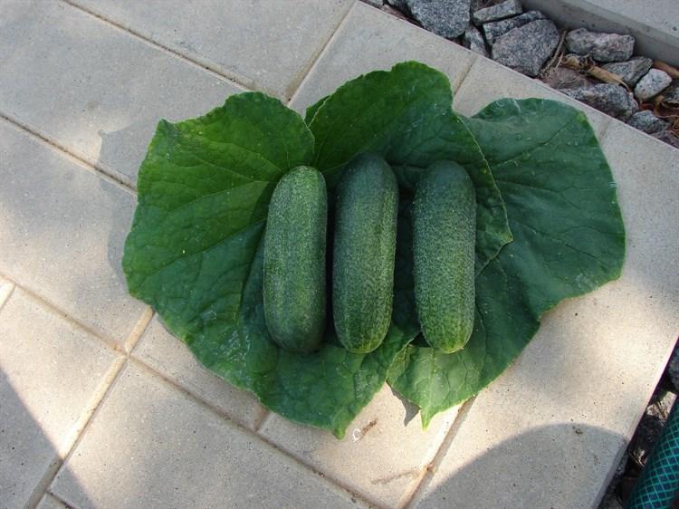 Клауд F1, семена оругца партенокарпического (Wing Seeds / Винг Сидс) - фото 5854