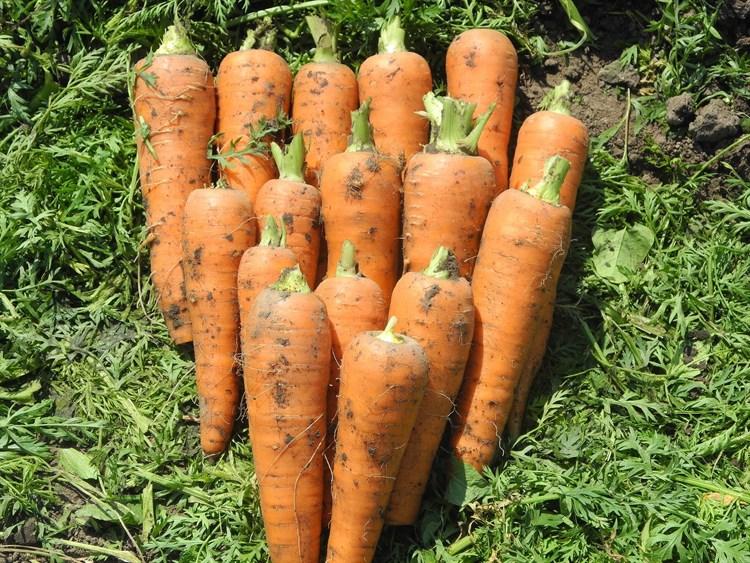 Скорпио F1, семена моркови (Wing Seeds / Винг Сидс) - фото 5857