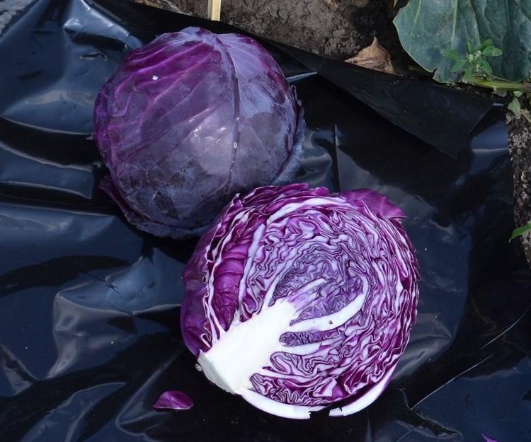 Рэд Кук F1, семена капусты краснокочанной (Wing Seeds / Винг Сидс) - фото 5875