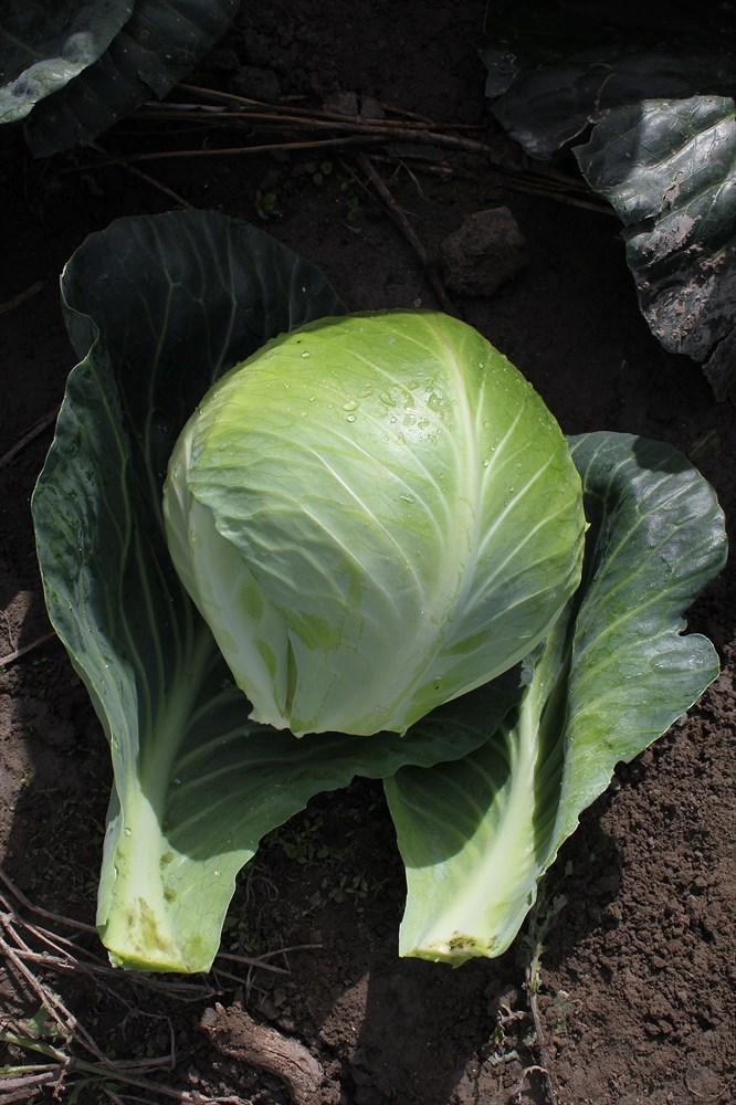 Галактион F1, семена капусты белокочанной (Wing Seeds / Винг Сидс) - фото 5876