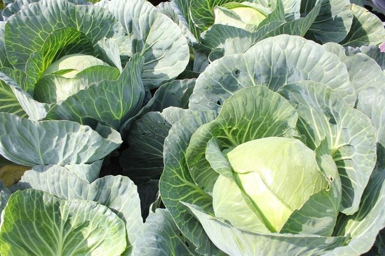Ларк F1, семена капусты белокочанной (Wing Seeds / Винг Сидс) - фото 5877