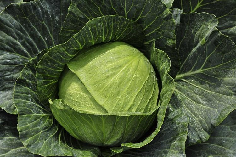 Конкэрор F1, семена капусты белокочанной (Bejo / Бейо) - фото 5887
