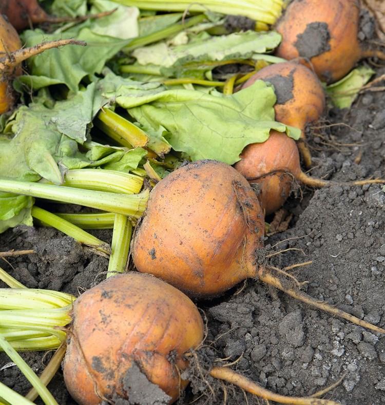 Болдор, семена свёклы (Bejo / Бейо) - фото 5896