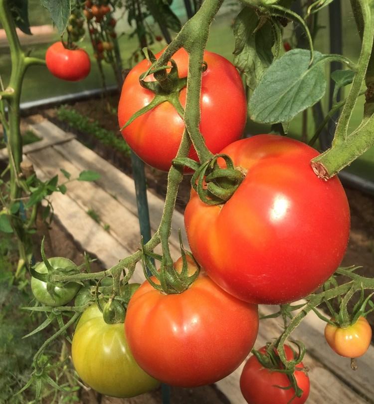 Джамбо F1, семена томата индетерминантного (Wing Seeds / Винг Сидс) - фото 5902