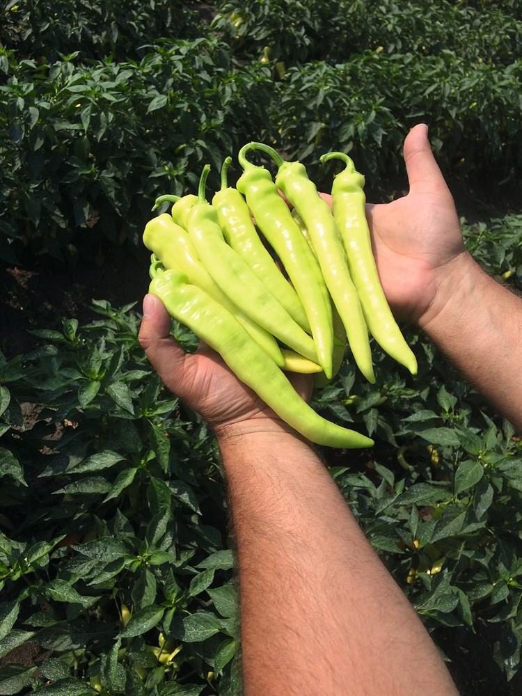 Ангара F1, семена перца острого (Bejo / Бейо) - фото 5933