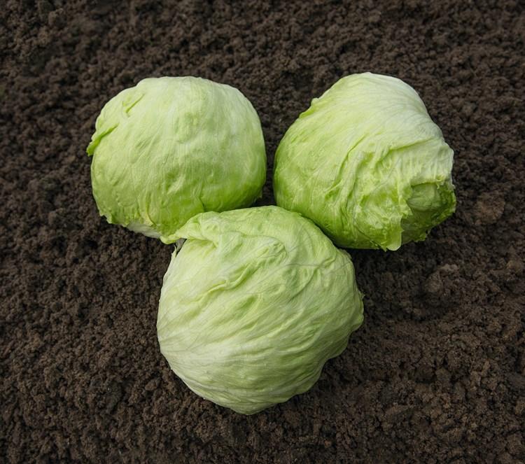 Джойс, семена салата айсберг (Bejo / Бейо) - фото 5946