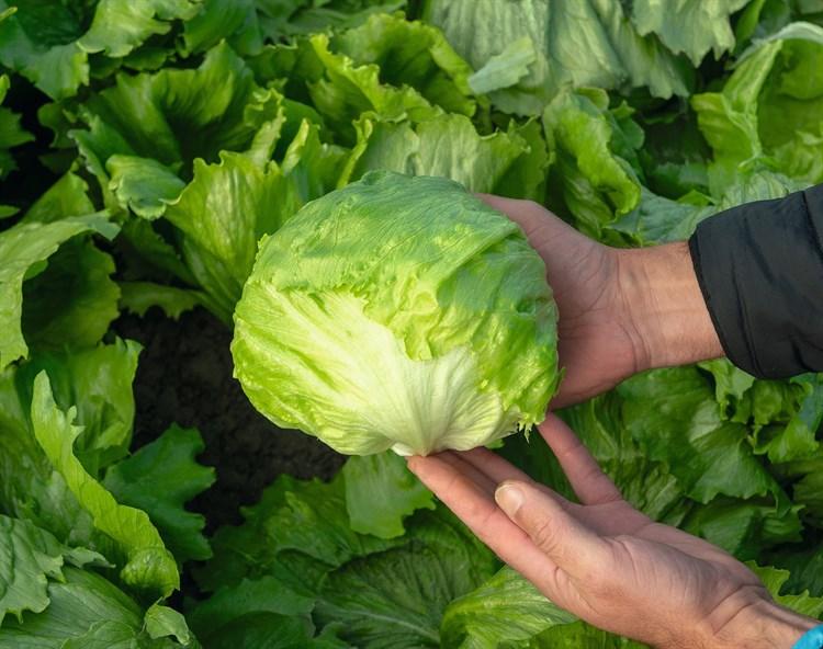 Брайс, семена салата айсберг (Bejo / Бейо) - фото 5947