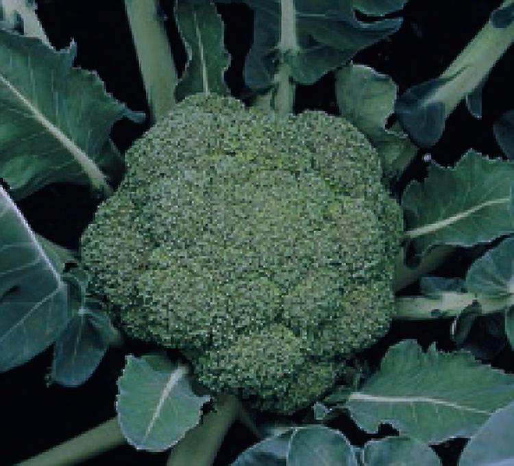 Монтоп F1, семена капусты брокколи (Syngenta / Сингента) - фото 6024