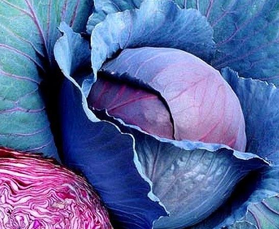 Ребол F1, семена капусты краснокачанной (Syngenta / Сингента) - фото 6027