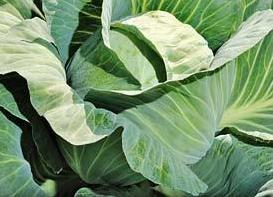 Блоктор F1, семена капусты белокочанной (Syngenta / Сингента) - фото 6035