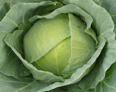 Браксан F1, семена капусты белокочанной (Syngenta / Сингента) - фото 6037