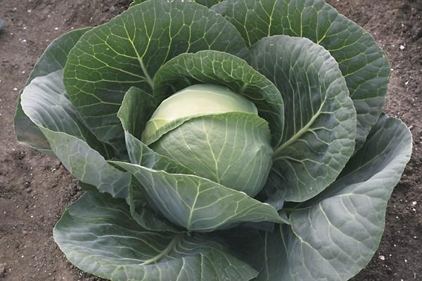 Грепала F1, семена капусты белокочанной (Syngenta / Сингента) - фото 6040
