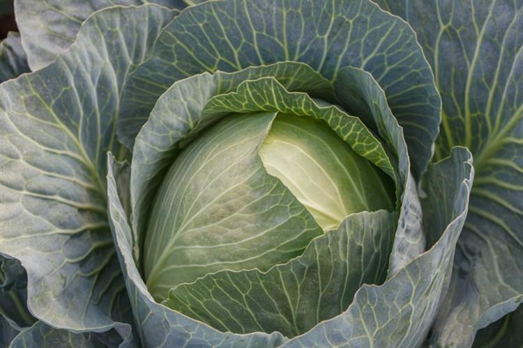 Зиелонор F1, семена капусты белокочанной (Syngenta / Сингента) - фото 6044